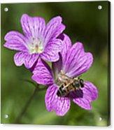 Hardy Geranium And Honey Bee Acrylic Print