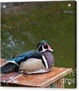 Harlequin Duck Acrylic Print