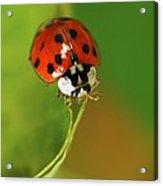 Harlequin Ladybird Acrylic Print