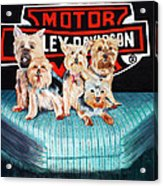 Harley Dogs Acrylic Print by Carolyn Ardolino