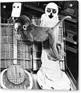 Harlows Monkey Experiment Acrylic Print
