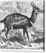 Harnessed Antelope Acrylic Print