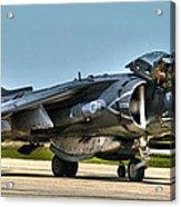 Harrier Acrylic Print