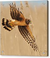 Harrier Over Golden Grass Acrylic Print by William Jobes