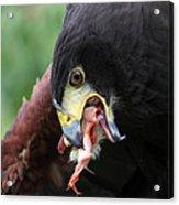 Harris Hawk Feeding Acrylic Print