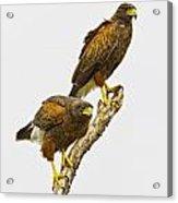 Harris' Hawk Pair Acrylic Print