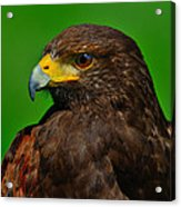 Harris's Hawk Acrylic Print