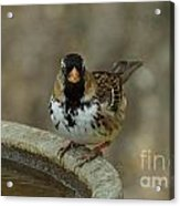 Harris's Sparrow Acrylic Print