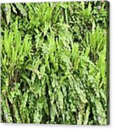 Hart's Tongue Fern Acrylic Print by Adrian Bicker