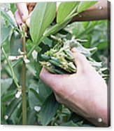 Harvesting Organic Broad Beans Acrylic Print