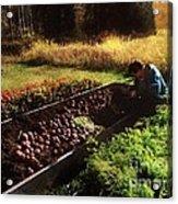 Harvesting The Crop Acrylic Print