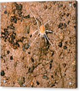 Harvestman Crosbyella Sp. In Cave Acrylic Print
