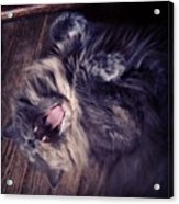 Has #fangs. Not Afraid To Use 'em Acrylic Print