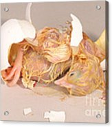 Hatching Chicken 19 Of 22 Acrylic Print