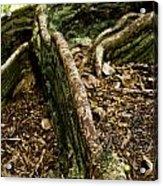 Hawaiian Cypress Acrylic Print