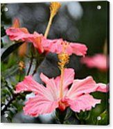 Hawaiian Pink Hibiscus Acrylic Print