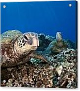 Hawaiian Turtle On Pacific Reef Acrylic Print by Dave Fleetham