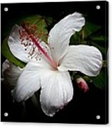 Hawaiian White Hibiscus Acrylic Print