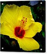 Hawaiian Yellow Hibiscus Acrylic Print