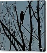 Hawk 4 Acrylic Print