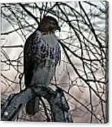 Hawk 6 Acrylic Print