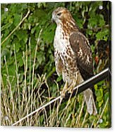 Hawk At A Wedding Acrylic Print