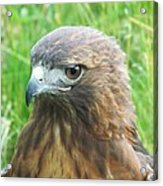 Hawk-eye Acrylic Print