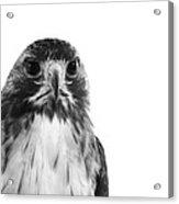 Hawk On White Background Acrylic Print