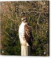 Hawk Post Acrylic Print