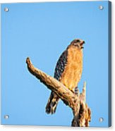 Hawk Screaming Acrylic Print