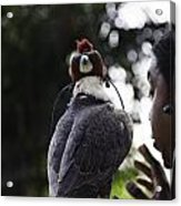 Hawk With Eyes Covered At A Show Inside The Jurong Bird Park In  Acrylic Print