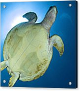 Hawksbill Sea Turtle Belly, Australia Acrylic Print