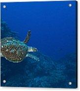 Hawksbill Sea Turtle, Kimbe Bay, Papua Acrylic Print