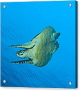 Hawksbill Turtle In The Diving Acrylic Print