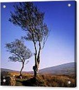 Hawthorn Trees In Sally Gap, County Acrylic Print