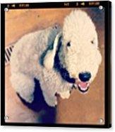 He Looks Like A Sheep! Lol 🐶 Acrylic Print by Nena Alvarez