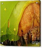 Head Of Polyphemus Caterpillar Acrylic Print
