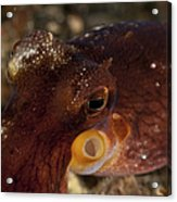 Head Shot Of A Brownish Red Coconut Acrylic Print