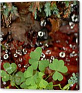 Heart Shaped Clover And  Dew Drops Acrylic Print