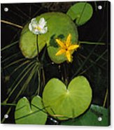 Heart-shaped Water Lily Acrylic Print