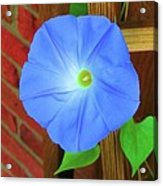 Heavenly Blue Morning Glory Acrylic Print
