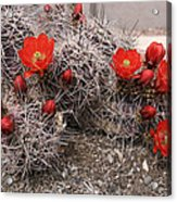 Hedgehog Cactus With Red Blossoms Acrylic Print