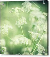 Hedgerow Blossom In Spring Acrylic Print