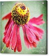 Helenium Flower 2 Acrylic Print