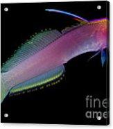 Helfreiky Firefish Acrylic Print