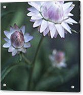 Helichrysum 'large Flowered Mixed' Acrylic Print