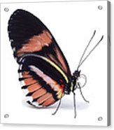 Heliconius Butterfly Heliconius Sp Acrylic Print