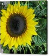 Helios Flower Acrylic Print