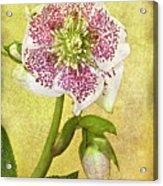 Hellebore Flower Acrylic Print