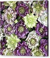 Hellebore Helleborus Sp Flowers Acrylic Print